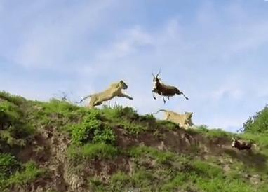 アンテロープを飛び降りながらキャッチするライオン