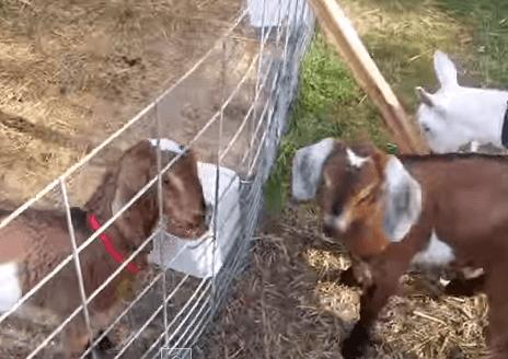 仲間と合流できなくて変な叫び声を上げるヤギ
