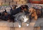オーストラリアン·テリアのパピーに囲まれた猫