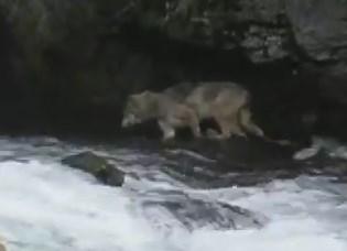 クマの横で川の鮭を捕まえるオオカミ