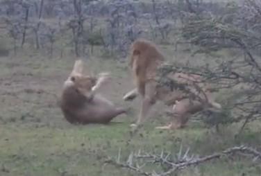 雄ライオンが昼寝していたライオンに忍び足で接近、お互いビックリ仰天