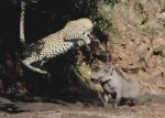 イボイノシシに襲いかかるヒョウ、「あ、無理だ!」