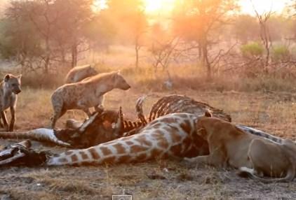 ライオンの大きな獲物を奪おうとするハイエナ