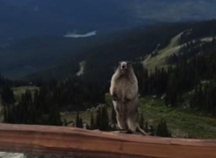 壮大な景色をバックに雄叫びを上げるマーモット