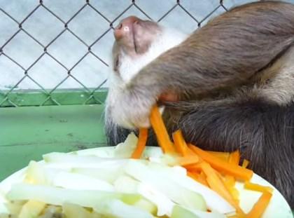 ナマケモノの食事が想像以上にナマケモノだった