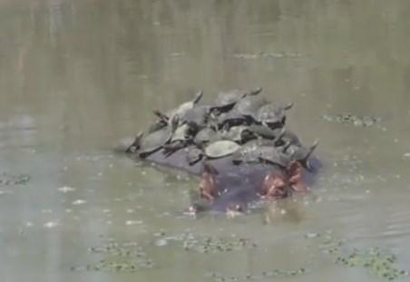 カバの背中で亀が折り重なるように日光浴