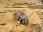 この眠り方は危ない!転がり落ちるミーアキャット