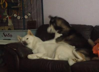 遊びたいハスキー犬と休みたいハスキー犬