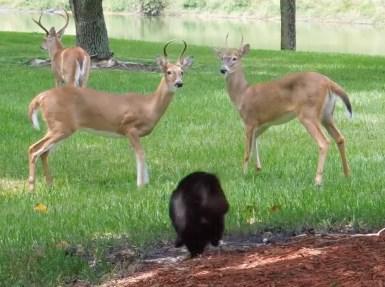 喧嘩を始めそうな鹿を追い払ったニャンコ