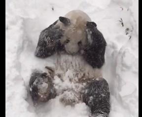 パンダ、積雪歓迎!