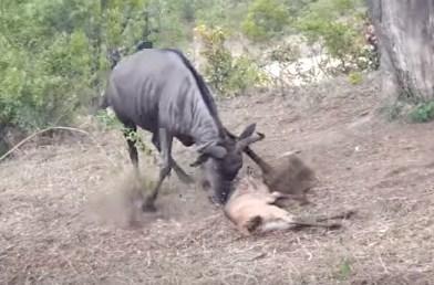 ヒョウに襲われたヌーの子供、母親が助けると思いきや…