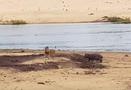 倒れた母親をライオンの攻撃から守るカバの子供