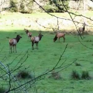 Elk by Beth
