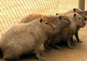 """Capybaras, moving north into the U.S. in response to global warming, are considered """"invasive"""" despite their successful adaptation to the habitat."""