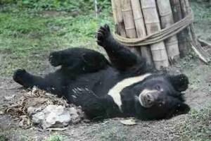 Jasper at the Animals Asia Foundation sanctuary in Chengdu, China. (AAF photo)