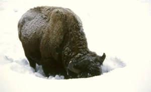 Bison foraging in deep snow. (National Park Service photo)