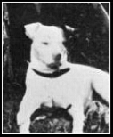 Note the bowed legs and muscular body of Hitler's dog Fuchl––much more like a Staffordshire pit bull than like a Jack Russell terrier.