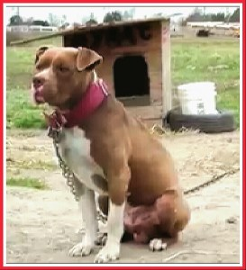 PETA is the largest organization advocating for dogs & cats which has not fallen into pit bull advocacy at the expense of humans & other animals. (PETA photo)