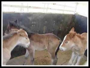 Foals. (KBR Horse Rescue photo)