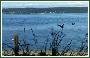 The gull, an eagle, and a crow in hot pursuit. (Beth Clifton photo)