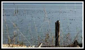 Duck raft. (Beth Clifton photo)