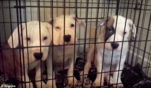 Alexandra Griffin-Heady's pit bulls. (YouTube image.)