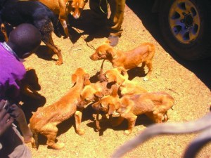 Kenyan street dogs at vaccination clinic (ANAW photo)