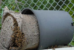 A garbage can full of Africanized bees is every trash collector's worst nightmare. (University of Florida photo)