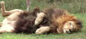 Asiatic lion (Big Cat Rescue photo)