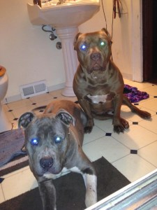 The pit bulls involved in the Eric Bacon case. Photo posted to syracuse.com by owner Kristin Kay on March 31, 2015.