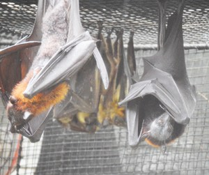 Fruit bats at the Lowry Park Zoo in Tampa.  Most of the bats affected by white nose syndrome are of insectivorous species,  but fruit bats are also at risk.  (Beth Clifton photo)