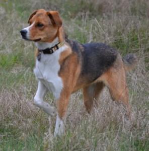 Beagle on the health & fitness beat.  (Beth Clifton photo)
