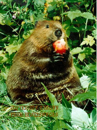 Beaver (Sharon Brown/Beavers, Wetlands & Wildlife)