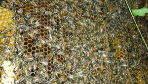 Inside a bee hive. (Wikipedia photo)