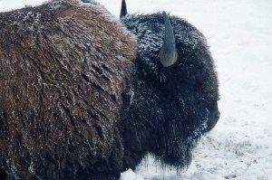 Bison in snow.  (Larry Caine)