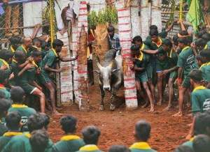 Bull is pushed out to mob of jallikattu participants. (People for Cattle in India)