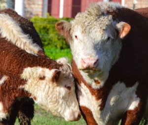 Hereford calf & mother. (Beth Clifton photo)