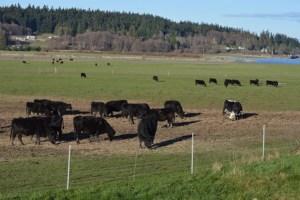 Dairy herd. (Beth Clifton photo)