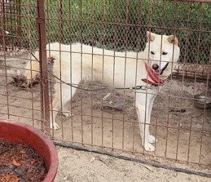 Korea Animal Rights Advocates found this dog housed at the Damyang Dog Farm with the remains of another dog who had apparently been dead for weeks.