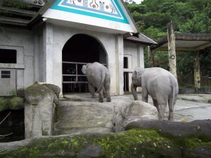 Elephants wait to be allowed to enter the elephant house on a cool evening at the Taipei Zoo. (MC)