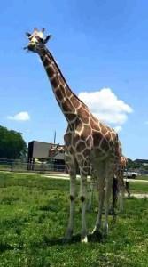 Greg Robbins giraffe