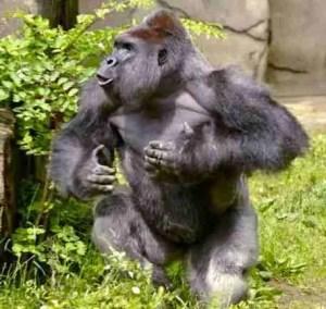 Cincinnati Zoo publicity photo of Harambe displaying.