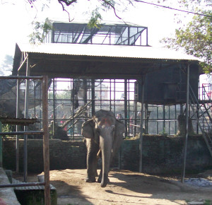 """60-year-old elephant """"retired"""" from use in Nepal Central Zoo elephant ride concession to lonely boredom chained in a shed.  The zoo is operated by the National Trust for Nature Conservation,  for which Carol Buckley has been building sanctuary fencing,  so better times may be ahead for this elephant,  if she is still alive.   (Merritt Clifton photo,  January 2014)"""