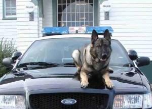 Police dog in Newport,  Oregon.