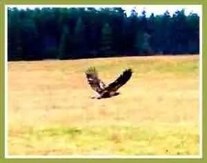 Golden eagle. (Beth Clifton)