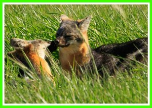 Channel Islands foxes. (National Park Service photo)