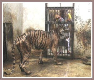 Rama the tiger near the end of his life.