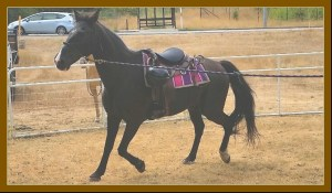 """What a walking horse gait looks like without artificial """"action devices"""" and soring. (Beth Clifton photo)"""