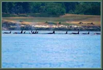 Orcas in Penn Cove. (NOAA photo)