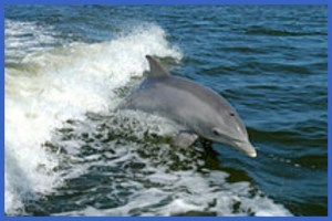 Bottlenose dolphin in the wild. (Wikipedia)